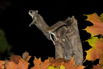 Southern Flying Squirrel jumping and fall colors taken in southern MN in the wild