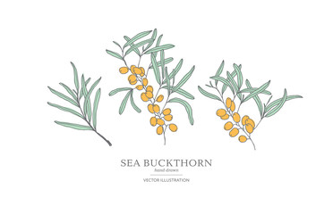 Hand drawn sea buckthorn branches