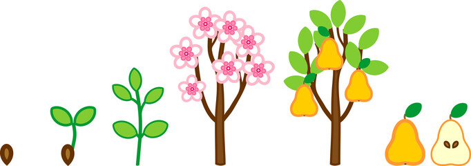 Life cycle of pear tree. Plant growth stage from seed to tree with fruits