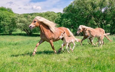 Haflinger mares with foals running across a pasture