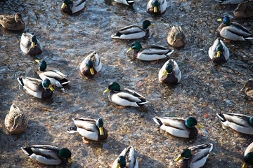 floating ducks in a frozen pond during a snowfall in winter