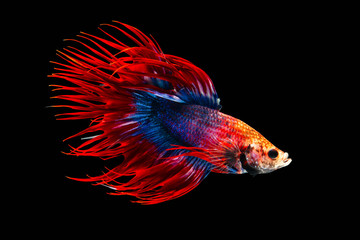 The moving moment beautiful of siamese betta fish or splendens fighting fish or crown tail in thailand on black background. Thailand called Pla-kad or biting fish.