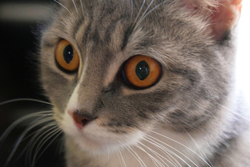 The beautiful gray cat looks big surprised eyes. Favorite pet. Predatory gaze.