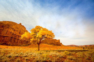 cotttonwood tree, desert