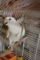 home white parrot in a cage