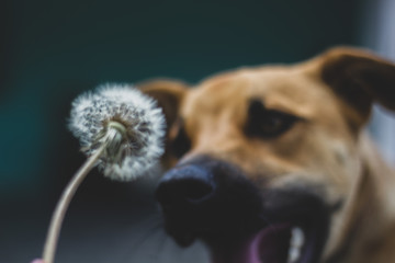 Cachorro e Dente-de-leão