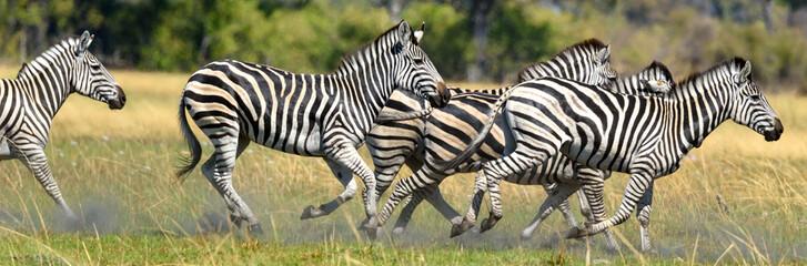Fototapeta Zebras obraz