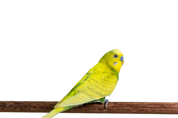 Yellow and green budgie, Budgerigar Bird Wall mural