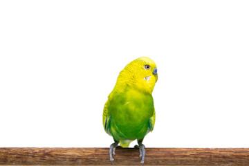 Yellow and green budgie, Budgerigar Bird