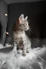 A cute gray kitten looks through the window