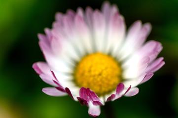 margherita in fiore