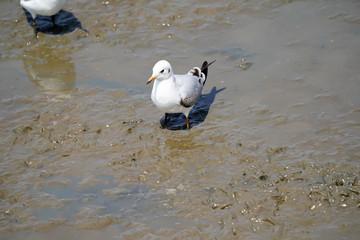 Seagull birds on beach / mangrove forest.