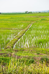 Rice field in the country