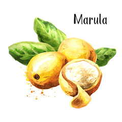 Marula fruit with leaves. Watercolor hand drawn illustration, isolated on white background