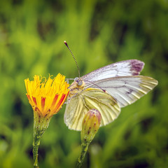 White butterfly sitting on the right on yellow flower on green grass background
