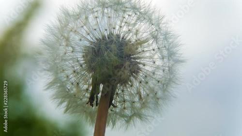 Dandelion flower in garden on spring time  Macro shot  Magic Lantern