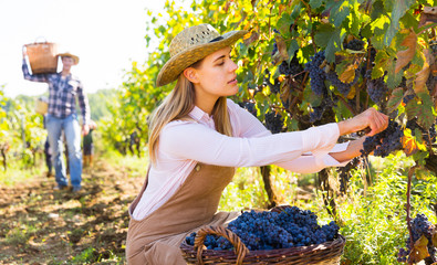 Woman harvesting blue grapes