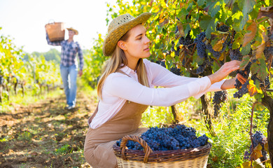 Woman picking black grapes in vineyard