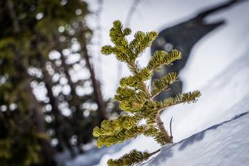 Douglas Fir in the Snow