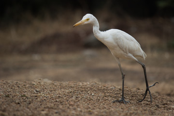 The cattle egret is a cosmopolitan species of heron found in the tropics, subtropics and warm temperate zones.