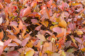 Abstract background of colorful beautiful autumn leaves and branches in their natural environment. Orange red leaves