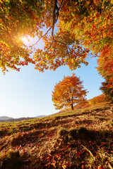 Shiny beech tree on a hill slope with sunny beams. Location Carpathians, Ukraine, Europe.