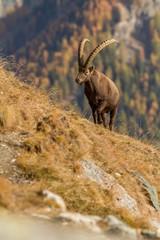 Alpine Ibex, Capra ibex, with autumn orange larch tree in background, National Park Gran Paradiso, Italy. Autumn in the mountain. Mammal, herbivorous