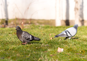 Beautiful pigeon goes to find food