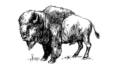 American bison, buffalo. Hand drawn illustration.