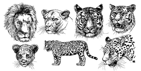 Vector drawings sketches wild predators , tigers, lions, leopards.