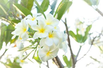 Group of white frangipani flowers on tree.( Pagoda tree, Temple tree)