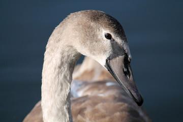 Head of Cygnus olor cygnet or Mute swan in juvenile plumage