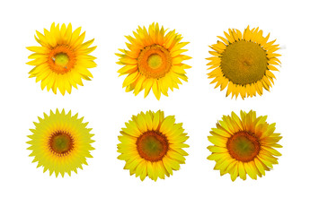 Sunflower isolated white background