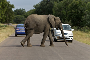 Large African Elephant crossing the road, Africa