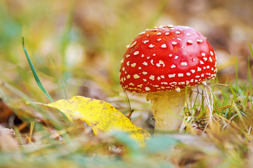 red fly agaric growing in the autumn forest
