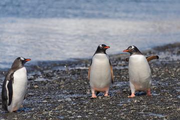 Three gentoo penguins on beach