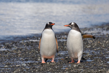 Two gentoo penguins on beach