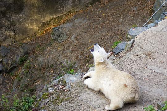 Polar bear close-up at the zoo