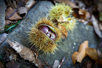 Close up of ripe sweet chestnut in the forest