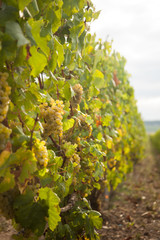Sunny bunches of white wine grape on vineyard in France,Europe