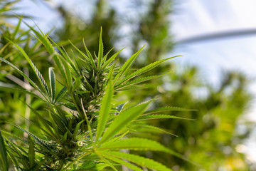 A cannabis plant soaking up the suns rays in an outdoor grow operation.