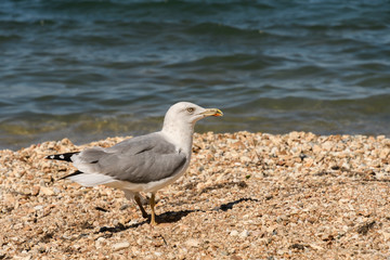 Caspian gull Larus cachinnans on the beach stands in profile