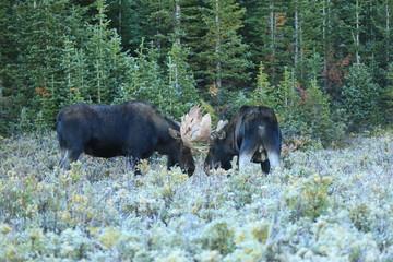 Bull Moose fighting