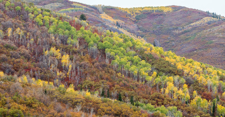 lush rolling hillside forest covered in vivid autumn colors near Park City, Utah