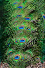 Beautiful peacock feathers for the background.