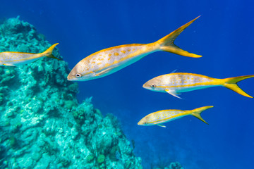 Colorful Yellowtail Snappers fish on the coral reef edge. Selective focus