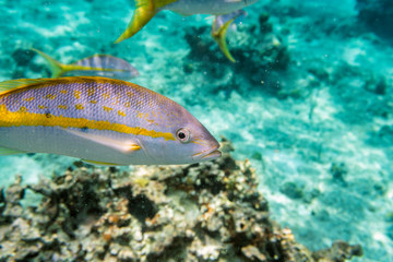 Yellowtail Snappers fish underwater. Selective focus