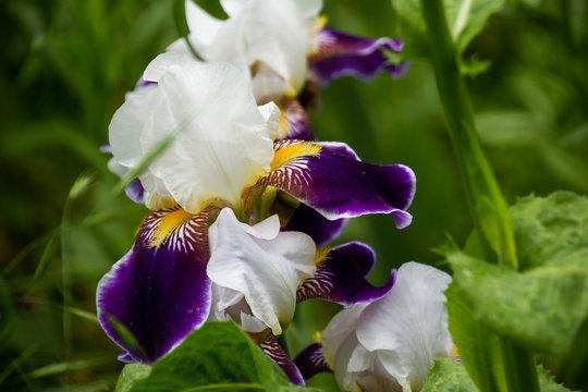 Bi-Color Iris