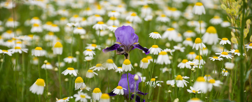 A pair of deep and pale purple wild Iris stand tall. Surrounded by a sea of white daisy's lifting high their golden centers of pollen.
