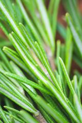 Fresh organic natural rosemary closeup, selective focus